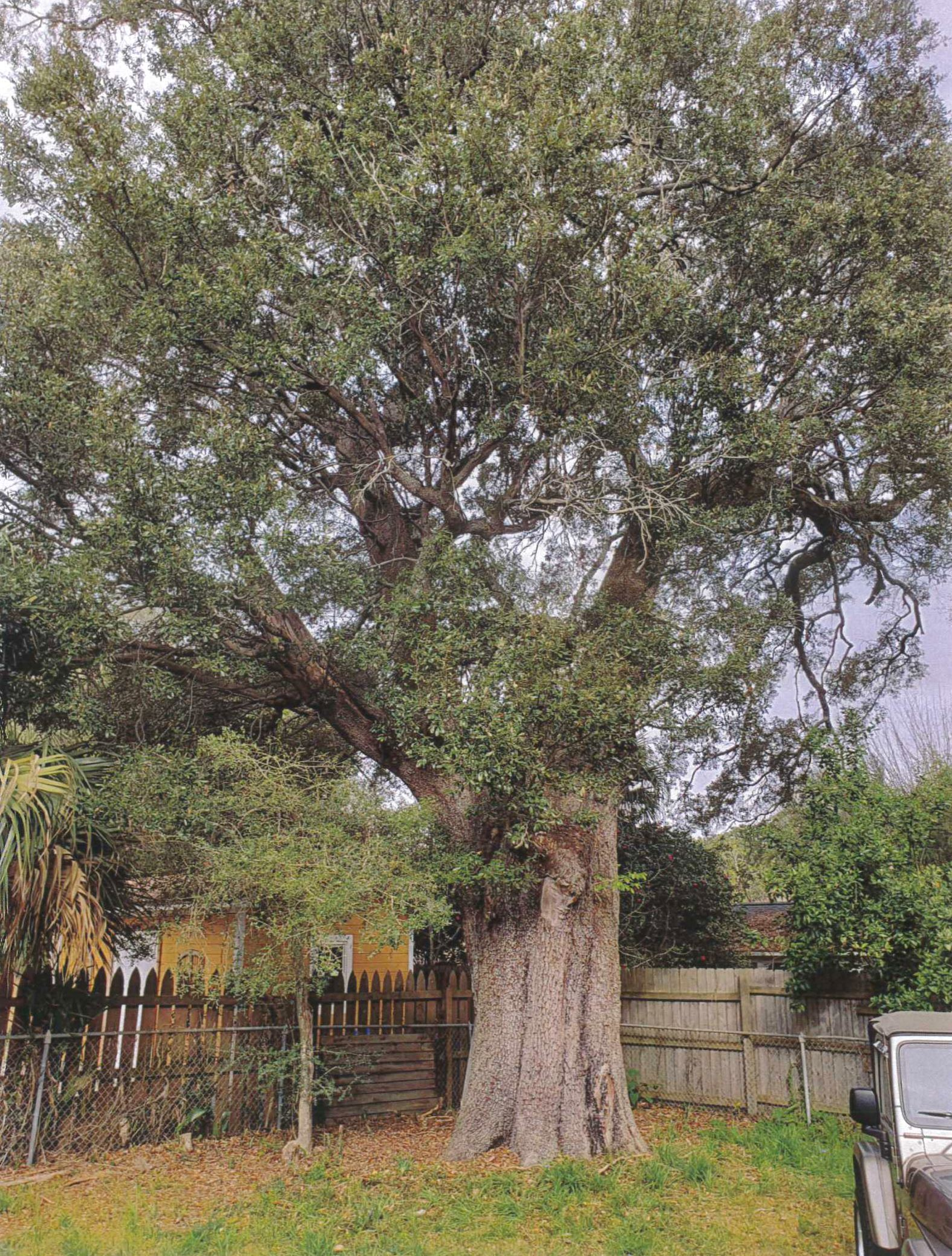 Heritage oak tree